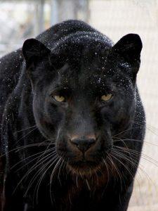 Crni panter 300
